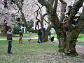 U Wash Quad cherry blossoms 13.jpg