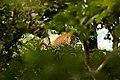 Uday Kiran Leopard BR Hills.jpg