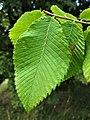 Ulmus 'Rebona' leaves.jpg
