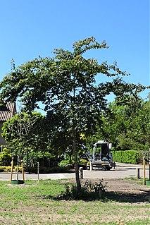 <i>Ulmus uyematsui</i> Species of plant