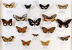 Université de Rennes 1, collection Charles Oberthür, papillons, région néotropicale, boîte 4.jpg