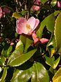 University of Washington Botanic Gardens camelia.jpg