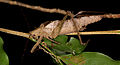 Unknown grasshopper (14503477106).jpg