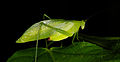 Unknown katydid (14525064404).jpg