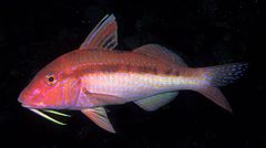 Moll de taques blaves (Upeneichthys lineatus)