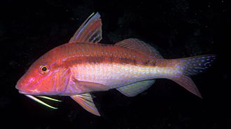 History of seafood - Image: Upeneichthys lineatus (Blue lined goatfish)