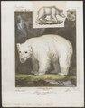 Ursus arctos var. alba - 1700-1880 - Print - Iconographia Zoologica - Special Collections University of Amsterdam - UBA01 IZ22600025.tif