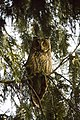 Utina (Asio otus), Long-eared Owl.jpg