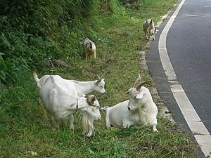 Bovidae in Chinese mythology - VM 5234 Shennongjia - goats south of Muyu, Hubei, China