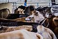 Vacas en el Llano.jpg