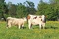 Vaches allée Pré Brus St Cyr Menthon 2.jpg
