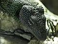 Varanus indicus MNHN.jpg