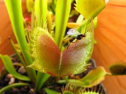 Fil:Venus Fly Trap Eating Compilation Scott's Revenge On The Caterpillars.ogv