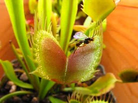 File:Venus Fly Trap Eating Compilation Scott's Revenge On The Caterpillars.ogv