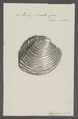 Venus plicata - - Print - Iconographia Zoologica - Special Collections University of Amsterdam - UBAINV0274 077 12 0013.tif