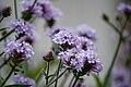 Verbena bonariensis 01.jpg