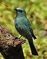 Verditer Flycatcher Eumyias thalassinus by Dr. Raju Kasambe DSCN2658 (4).jpg