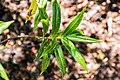 Veronica salicifolia in Christchurch Botanic Gardens 02.jpg