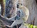 Vervet Monkeys (Chlorocebus pygerythrus) (11466340864).jpg