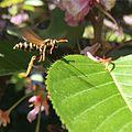 Vespidae Wasp.jpg
