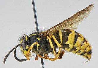 Vespula alascensis - Image: Vespula alascensis