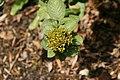 Viburnum lantana Variegata 1zz.jpg