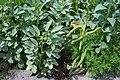 Vicia faba, also known as the broad bean, fava bean, faba bean, field bean, bell bean, or tic bean.jpg