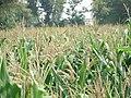View of corn field in Pakistan 009.jpg