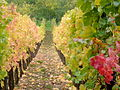 Vignoble de Cleebourg en Automne.JPG