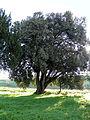 Villa Papadopoli, albero secolare (Smergoncino, Adria).JPG