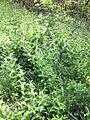 Vincetoxicum rossicum SCA-0537.jpg