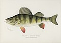 Vintage illustrations by Denton from Game Birds and Fishes of North America digitally enhanced by rawpixel 07.jpg