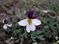 Viola beckwithii-3-15-05.jpg