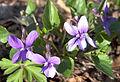 Viola reichenbachiana (pl. fiołek leśny).JPG