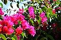 Vivid pink (46037705782).jpg