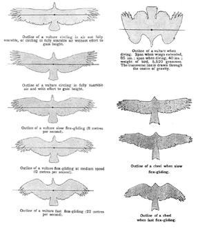 Ernest Hanbury Hankin - Profile variation in soaring birds