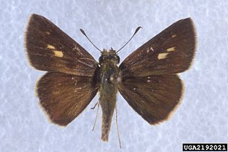 <i>Wallengrenia otho</i> species of insect