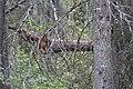 Wapta Falls Trail IMG 4934.JPG