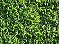 Wasserpflanze Gomera.JPG