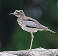 Water Thick-knee, flipped & cropped.jpg