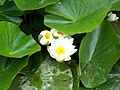 Water lily (Nymphaea alba), Woodfry's Farm - geograph.org.uk - 1408002.jpg