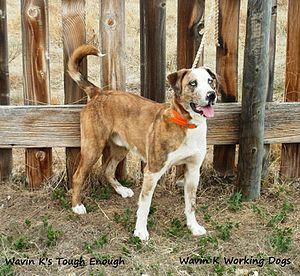 Catahoula bulldog - Image: Wavin K's Tough Enough