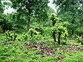 Wayanad Wildlife Sanctuary, Tholpetty Range - panoramio (10).jpg