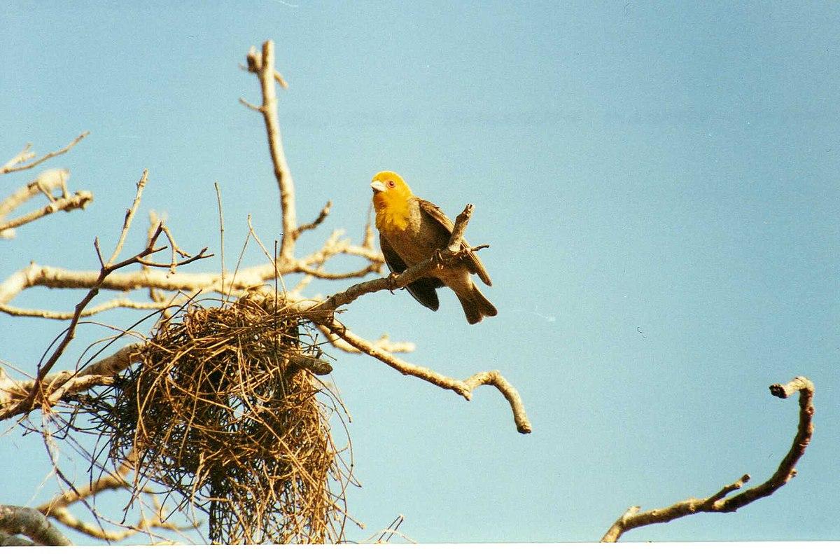 File Weaver Bird Nesting 3445341247 Jpg Wikimedia Commons