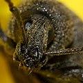 Weevil - Head Crop (2871754599).jpg