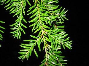 Western Hemlock foliage