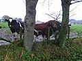 Wet cattle, Byres. - geograph.org.uk - 75655.jpg