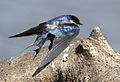 White-throated Swallow, Hirundo albigularis at Marievale Nature Reserve, Gauteng, South Africa (9708421989).jpg