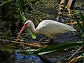 White Ibis foraging in Corkscrew Wildlife Sanctuary (31813174524).jpg