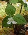 White Trillium Trillium grandiflorum Plant 2000px.jpg